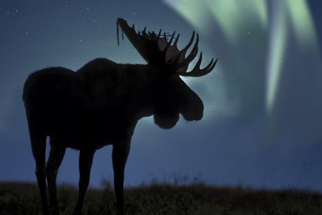 alaska-moose